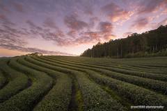 Dawn at Tea Plantation (grant1980:)) Tags: dawn tea plantation morning glow