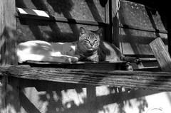 Lovers? (masamiy21) Tags: adonalrodinal oriental newseagull100 asahi pentaxsl carlzeiss planar5014 monochrome cat