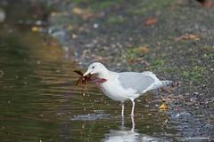 Leaf me alone (JSB PHOTOGRAPHS) Tags: nd31529 gull leaf altonbakerpark nikon eugeneoregon pond water bird reflection alone d3 80400mm