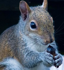 A Squirrel's Nutty Portrait (ACEZandEIGHTZ) Tags: carolinensis eastern grey squirrel animal macro closeup portrait nikon d3200 sciurus furry coth5 coth cute adorable sunrays5