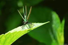 Calopteryx (Clém VDB ( Tiogris)) Tags: calopteryx demoiselle libellule damselfly dragonfly insect macro nature 2018