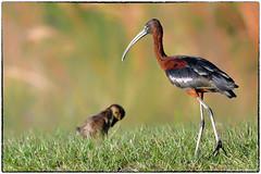 Glossy Ibis (RKop) Tags: apollobeach florida raphaelkopanphotography d500 600mmf4evr nikon