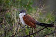 The Rainbird (leendert3) Tags: leonmolenaar southafrica krugernationalpark wildlife nature birds burchellscoucal ngc npc