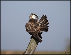 Buse variable (pat lechner) Tags: busevariable buse marquenterre baiedesomme baiedelacanche baiedauthie picardie