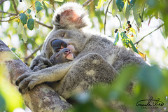 Koala (Theo Crazzolara) Tags: koala koalabear bear animal wildlife australia queensland magneticisland magnetic island townsville natural nature wild mammal little baby mother family cute sweet beautiful gorgeous cuddle