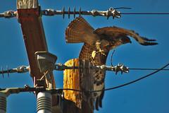 Red tail Hawk 100 (ahmed_eldaly) Tags: sandiego california usa nature birds birding wildlife photography egyptianphotographer