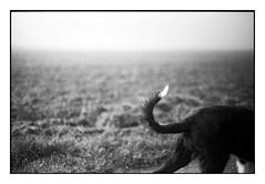 (bakmak71) Tags: minoltax300 analog swfilm janni newfriend dog agfaapx100 scanvomnegativ adonal nebel hirschmatten dietenbachareal freiburg bordercollie bordercolliemix littledoglaughedstories littledoglaughednoiret