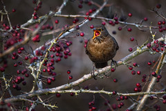 DSC_2455 (kryztophe) Tags: merle common blackbird mirlo común melro amsel feketerigó чёрный дрозд 乌鸫 merel merlo comune koltrast svarttrost kos zwyczajny drozd čierny černý solsort mustarastas クロウタドリ nikon sigma animal extérieur oiseau d500