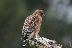 Red-shouldered Hawk (Alan Gutsell) Tags: redshoulderedhawk red shouldered hawk raptor birdofprey california birds birding pacific alan wildlife canon photo