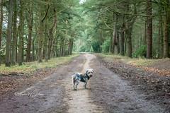 SJ1_4332 - Little dog lost... (SWJuk) Tags: burnley england unitedkingdom swjuk uk gb britain lancashire worsthorne hurstwood hurstwoodreservoir road trees track trail vanishingpoint evergreen dog george terrier terriermix 2019 jan2019 winter nikon d7200 nikond7200 nikkor1755mmf28 landscape countryside scenery rawnef lightroomclassiccc littledoglaughedstories