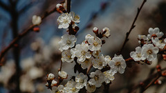 Blooming apricot in early april (Daniil Makedonsky) Tags: apricot blooming april spring bloom