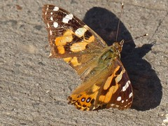 Painted Lady butterfly (Rodger1943) Tags: butterflies australianbutterflies paintedlady fz200