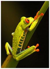 Red eyed tree frog - Agalychnis callidryas (docsunny) Tags: red eyed tree frog agalychnis callidryas