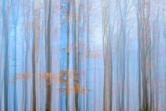 november II (Sandra Bartocha) Tags: sandrabartocha trees woods doubleexposure layers enchantingforests beeches absolutegoldenmasterpiece lightblue
