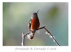 Chestnut-breasted Coronet (7695) (fbc57) Tags: chestnutbreastedcoronet boissonneauamatthewsii birds hummingbirds coronets cabanassanisidro cosanga ecuador nikond850 nikon200500f56eedvrafs trochilidae