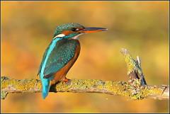 """Martin pêcheur d'Europe femelle ( Alcedo atthis ) Distance Focus : 5.31 m Shutter Count : 130 261 """" image prise depuis la tente affût """" *** sans Photoshop , sans Lightroom et sans aucun Groupe en partage *** (Norbert . L . PHOTO) Tags: martinpêcheurdeurope alcedoatthis oiseaufemelle oiseaupêcheur bokehdautomne perchoir nikon d500 nikkor200500mmf56"""