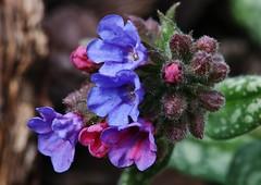 Gefleckte Lungenkraut (Pulmonaria officinalis) (Hugo von Schreck) Tags: hugovonschreck geflecktelungenkraut pulmonariaofficinalis flower blume blüte macro makro