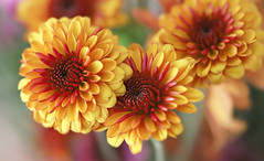 Beautiful Autumn Mums (Through Serena's Lens) Tags: autumn november closeup colorful dof bokeh bright indoor flora chrysanthemums mums flower canoneos6dmarkii macroflowerlovers