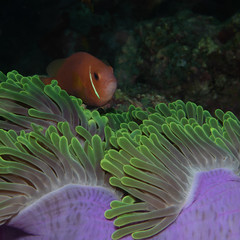Anemone Fish (moments in nature by Antje Schultner) Tags: anemonenfisch anemone fish fisch malediven maldives