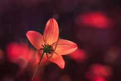red alert (christophe.laigle) Tags: rouge christophelaigle fleur macro vivid nature flower fuji colours light lumière xpro2 xf60mm red