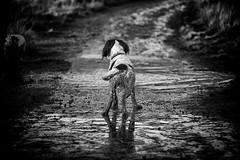 Waiting ..... (Missy Jussy) Tags: waiting razzle razz roxbergrazzle rupert rupertbear englishspringer springerspaniel spaniel mansbestfriend malespringerspaniel countryside dogs dogwalk pets animals mono monochrome blackwhite bw blackandwhite 70200mm ef70200mmf4lusm ef70200mm canon70200mm canon5dmarkll canon5d canoneos5dmarkii canon outdoor outside piethornevalley valley puddle water littledoglaughednoiret