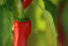 Red, sweet & beautiful (jimiliop) Tags: red pepper green leaves sweet beautiful garden bold colour macro closeup vegetables