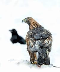 Golden Eagle (Nigey2) Tags: birds bird sweden merse snow winter eagles eagle