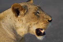 Surviving in a heatwave (leendert3) Tags: leonmolenaar southafrica krugernationalpark wildlife nature mammals lioness ngc npc