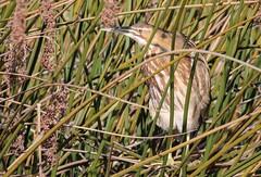 American Bittern (EXPLORE) (avilacats) Tags: winter sunny camouflaged reeds osoflacolake americanbittern