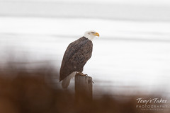 December 31, 2018 - A bald eagle on a cold, snowy New Year's Eve in Thornton. (Tony's Takes)