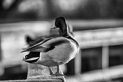 Mallard on a Rail 2 (LongInt57) Tags: mallard duck bird waterfowl water wetland boardwalk railing bw monochrome black white grey gray nature wildlife kelowna bc canada okanagan