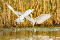 Little Egret Chase (SLHPhotography1990) Tags: 2018 hersey nature november reserve isle wight bird wild wildlife life photography behaviour little egret water chase chasing fly flight
