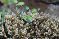 Grüner Schwalbenschwanz - Bluegreen puller - Chromis viridis