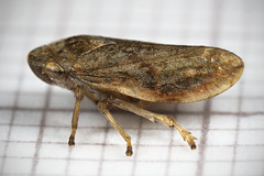 Common Froghopper (AJC1) Tags: philaenusspumarius insects macro bugs