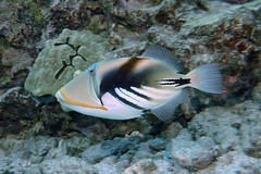 fast trigger  -  Explored 11/15/2018 (BarryFackler) Tags: rhinecanthusaculeatus humuhumunukunukuapuaa lagoontriggerfish triggerfish fish raculeatus marinelife marine marinebiology marineecosystem marineecology nature barryfackler barronfackler bigisland biology bay bigislanddiving being vertebrate coralreef creature coral zoology water westhawaii ecology ecosystem reef tropical undersea underwater island organism ocean outdoor pacificocean polynesia pacific life konacoast konadiving wildlife kona hawaii hawaiicounty hawaiiisland tropicalfish honaunau honaunaubay hawaiidiving saltwater hawaiianislands fauna diving dive diver southkona sea scuba seacreature sealifecamera sandwichislands sealife explore inexplore explored
