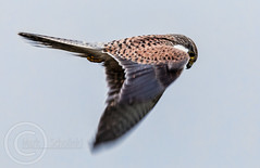 Z Kestrel 16th Oct 2018 113-Edit (Mark Schofield @ JB Schofield) Tags: pennine way south pennines peak national park trust hills moors vallies valley reservoir water peat moorland bog moss agriculture yorkshire huddersfield wessenden head pule buckstones scammonden royd edge holme colne marsden meltham digley march haigh west nab deer emley mast lapwing curlew hare bird wildlife oyster catcher chick young short eared owl hunting little duck mallard grouse kestrel red grey wagtail flight fly