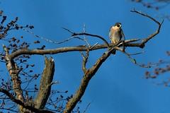 AL6I0837 (chavko) Tags: pegrine falcon sokol sťahovavý birds prey jozefchavko wildlife bird sky