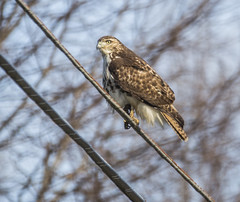 germantownhawk_04 (AgeOwns.com) Tags: hawk raptor mongtomery county maryland wildlife bird moco
