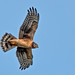 Immature Northern Harrier (Michael Brokenshire) Tags: