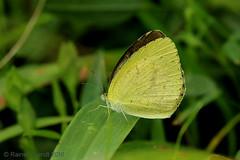 IMG_7285 Eurema brigitta ♀ (Raiwen) Tags: euremabrigitta eurema pieridae coliadinae butterflies lepidoptera island roume basseguinée guinea westafrica africa