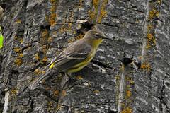 Yellow-rumpe Audubon's Warbler (Setophaga coronata auduboni) (R-Gasman) Tags: travel bird yellowrumpedaudubonswarbler setophagacoronataauduboni inglewoodbirdsanctuary calgary alberta canada