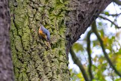 Kowalik (pasiak75) Tags: 2018 dolinabaryczy eurasiannuthatch kowalik ptaki sittaeuropaea outdoor