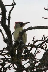 Zelena žolna (natalija2006) Tags: zelena žolna european green woodpecker picus viridis female samica ptič bird picidae žolne wildlife backyard nature narava slovenia