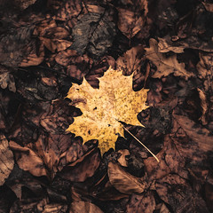 Alone in the middle of others (teamnullvier) Tags: ifttt 500px fall indian summer herbst leafs blätter ahorn nature