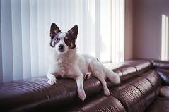 The Man (FSquare Photography) Tags: leicam6 voigtlander50mm15asph kodak 200asa dog pet homedeveloped jackrussell americaneskimo ultramax400 film colorfilm colourfilm montreal
