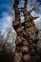 ancient one (rick miller foto) Tags: trees knots ancient forest walks trails parks g ross lord toronto north york fisherville winter fall old weathered stories i could tell sentinel canon eos r 1018 canada wide angle scenery landscape