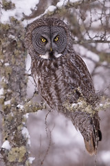 Great Gray Portrait (jrlarson67) Tags: great gray owl grey bird raptor birdofprey tree snow sax zim bog strix nebulosa minnesota