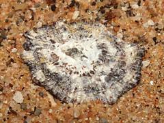 Limpet (Patella (Scutellastra) exusta pica) juvenile (shadowshador) Tags: limpet patella scutellastra exusta pica juvenile neomura eukaryota opisthokonta holozoa filozoa animalia lophotrochozoa mollusca gastropoda gastropod gastropods eogastropoda eogastropod eogastropods patellogastropoda patellogastropod patellogastropods patelloidea patellidae conchology malacology invertebrate invertebrates taxonomy scientific classification biology sea snail snails shell shells sand sandy beach wildlife life south african africa southafrican
