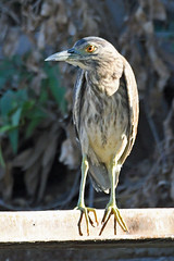Black-crowned Night Heron (Nycticorax nycticorax) Juvenile (Brian Carruthers-Dublin-Eire) Tags: blackcrowned nightheron bihoreau gris nachtreiher martinete comun kwak nycticoraxnycticorax black crowned night heron martinetecomun bird animalia animal nature birdwatch aves avian wildlife grass water ciconiiformes ardeidae nycticorax blackcrownednightheron rivers waterway pools lakes outdoor doñana national park doñananationalpark spain