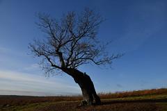 DSC_9999 (Birder Jez) Tags: bradgatepark leicestershire england oaktree bluesky